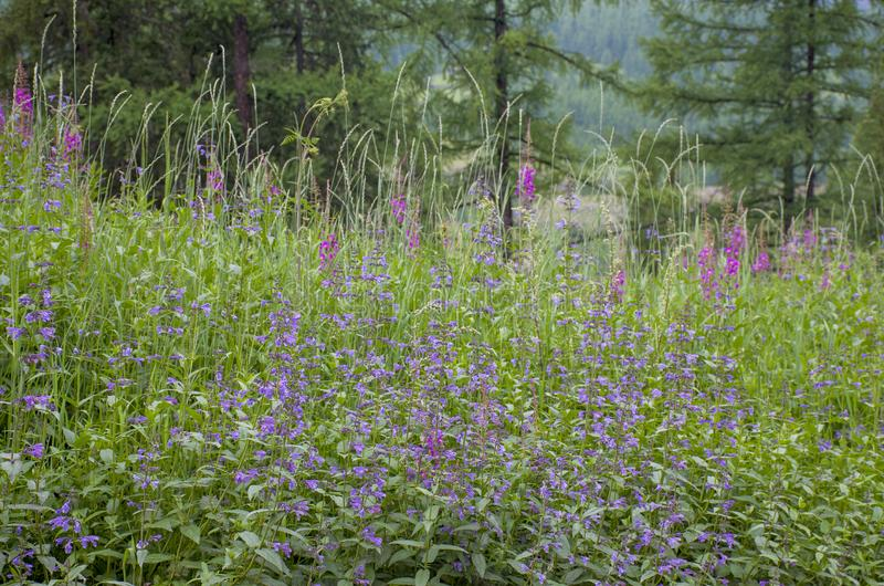 Taiga with medicinal plant willow-herb in Russia royalty free stock photos