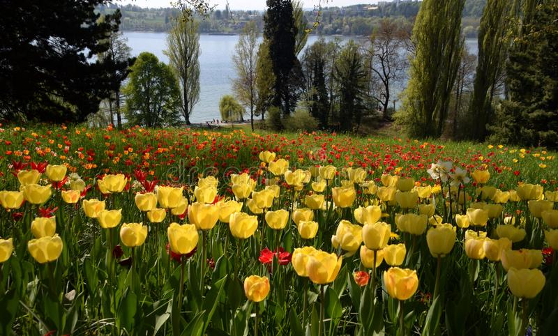 Tulipfield in bloom, beautiful yellow and red tulips stock image