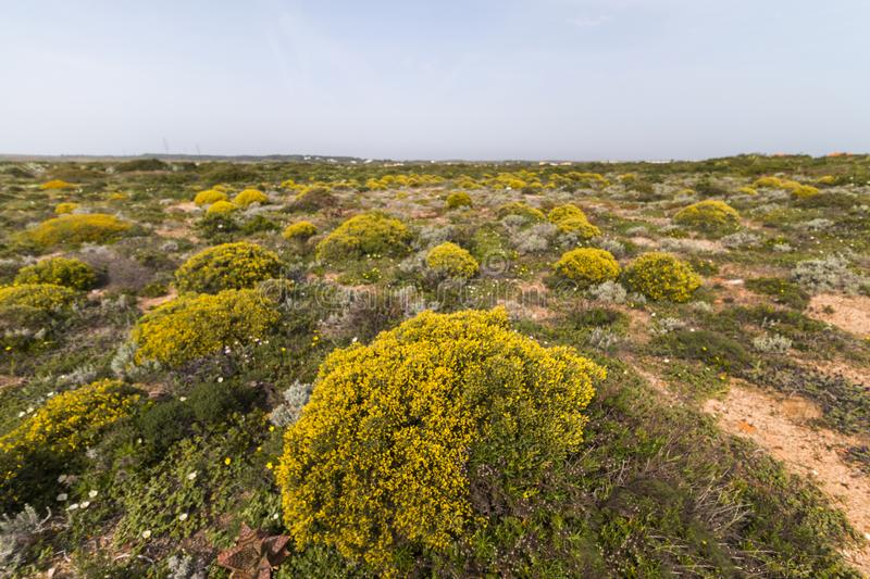 Landscape with ulex densus shrubs. Typical and beautiful landscape with ulex densus shrubs on the Sagres, Portugal region royalty free stock photo