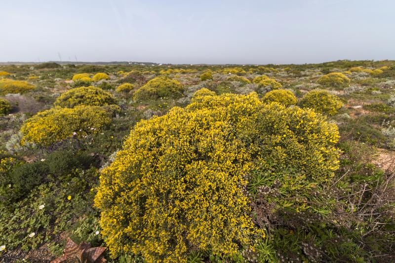 Landscape with ulex densus shrubs. Typical and beautiful landscape with ulex densus shrubs on the Sagres, Portugal region stock photos