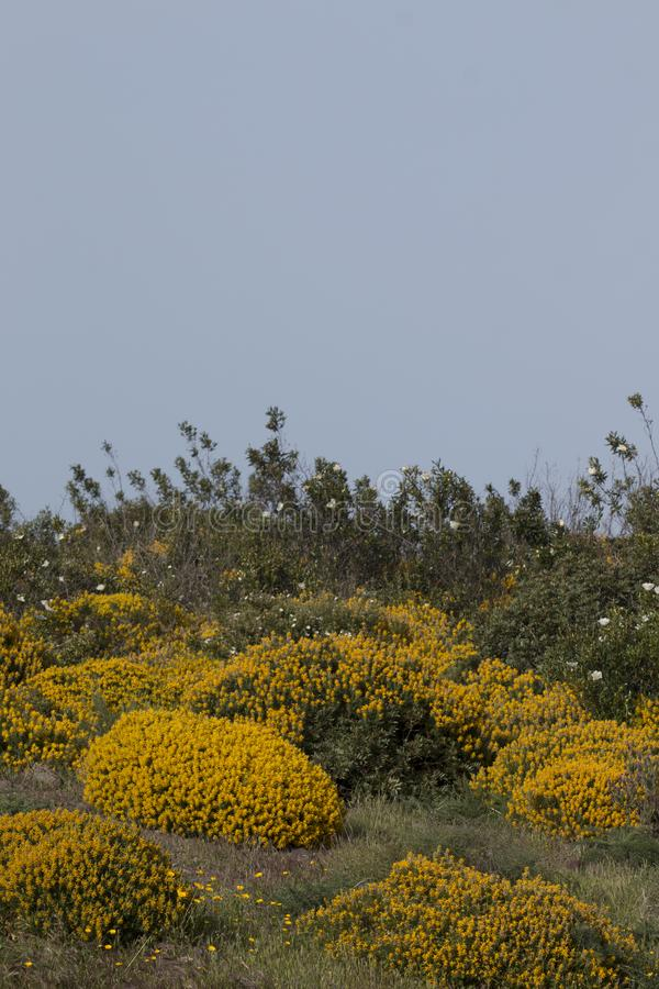 Landscape with ulex densus shrubs. Typical and beautiful landscape with ulex densus shrubs on the Sagres, Portugal region royalty free stock image