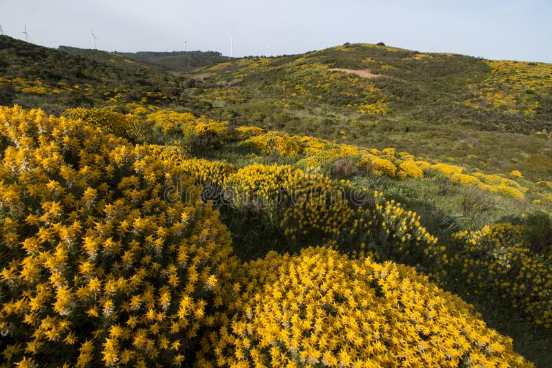 Landscape with ulex densus shrubs. stock image