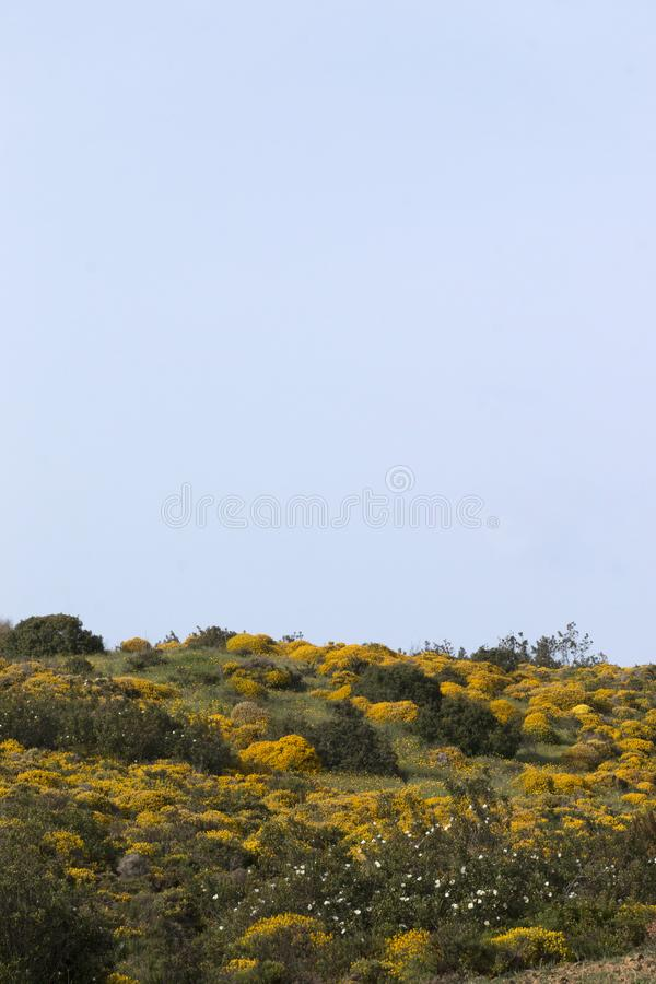 Landscape with ulex densus shrubs. royalty free stock photo
