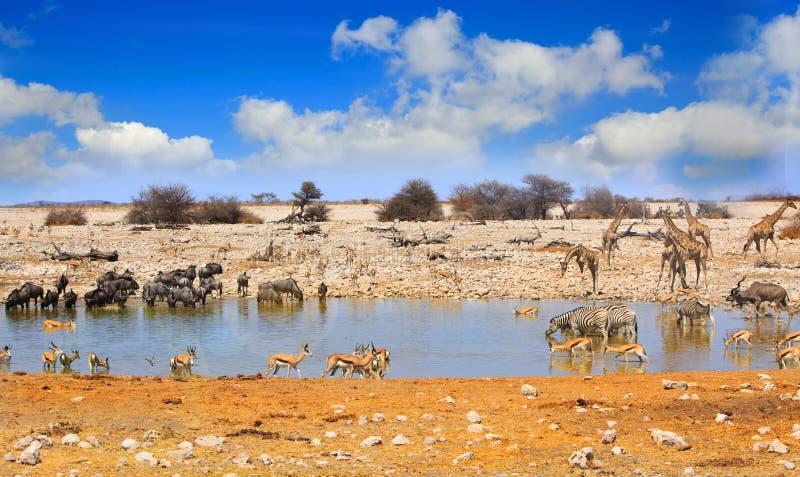 Landscape of a vibrant waterhole in Etosha royalty free stock photo