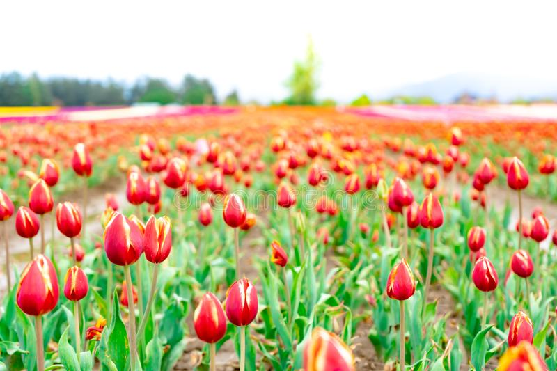 View of deep red and yellow tulip field, on a flower farm. Foreground focus with blurry distance showing a field of royalty free stock images