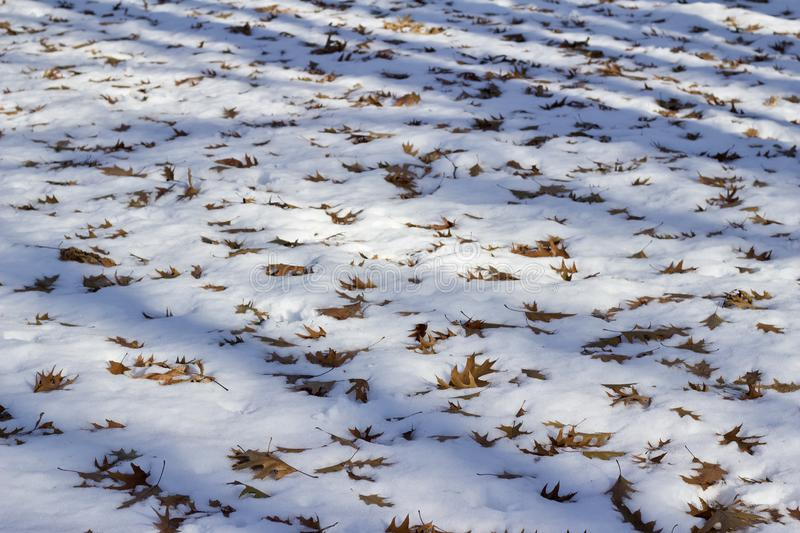 Landscape view of fallen oak leaves on a snow covered ground with tree shadows. This image shows close up texture view of fallen oak leaves on a snow covered stock image