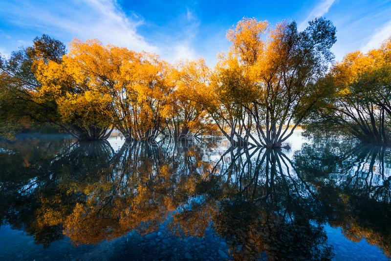 The Scene of the Autumn of Lake Tekapo. Landscape view of Lake Tekapo, autumn tree reflection in water with fog, New Zealand stock photos