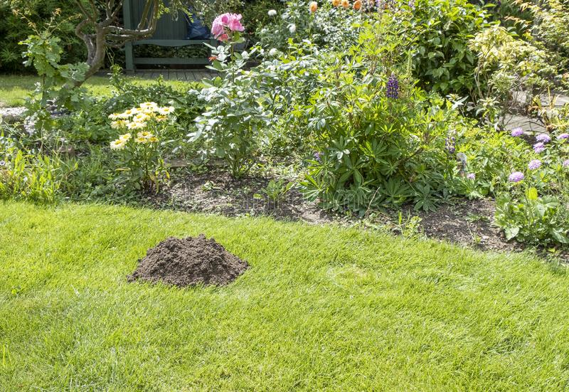 HELP there is a Mole in my garden. Landscape view of a pile of earth in the lawn dug by a mole stock images