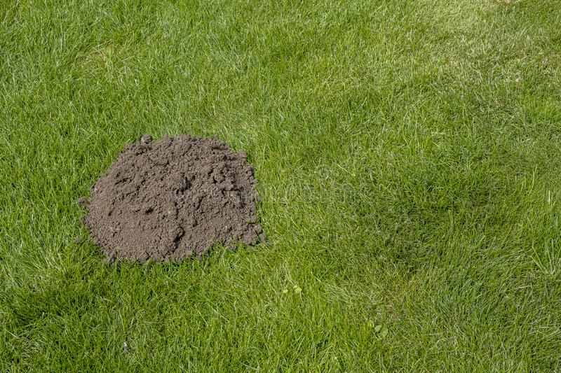 HELP there is a Mole in my garden. Landscape view of a pile of earth in the lawn dug by a mole stock photography