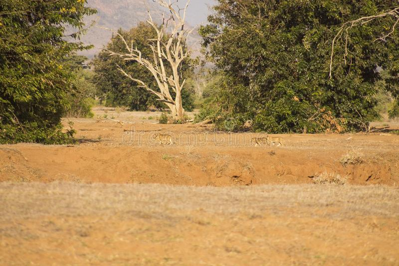 Landscape view showing lioness with cubs walking at a distance. Landscape view showing lion cubs walking distance animals lioness afri africa safari camourflage stock photo
