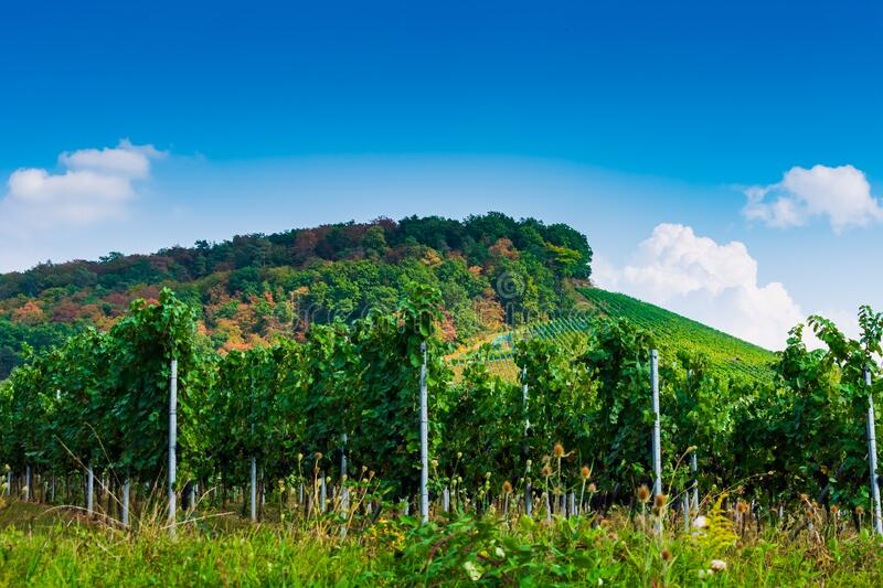 Landscape of a vineyard with a mountain covered in a forest under a blue sky and sunlight royalty free stock image