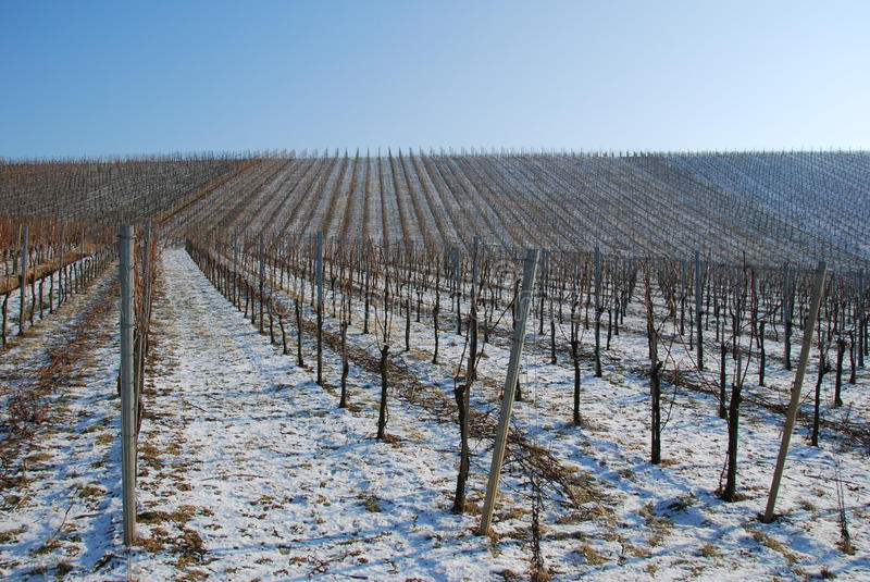 Download Landscape Vineyard In The Winter Stock Photo - Image of plant, field: 26792672