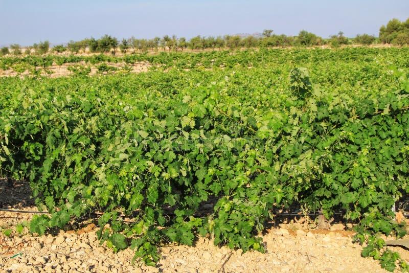 Landscape of vineyards in Jumilla, Murcia province. Landscape of beautiful green vineyards under blue sky in Jumilla, Murcia province, Spain vinery journey royalty free stock photo