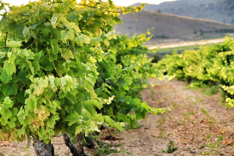 Landscape of vineyards in Jumilla, Murcia province. Landscape of beautiful green vineyards under blue sky in Jumilla, Murcia province, Spain vinery journey stock images