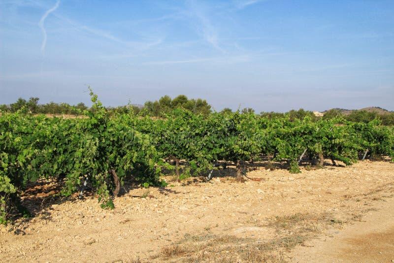 Landscape of vineyards in Jumilla, Murcia province. Landscape of beautiful green vineyards under blue sky in Jumilla, Murcia province, Spain vinery journey stock photo