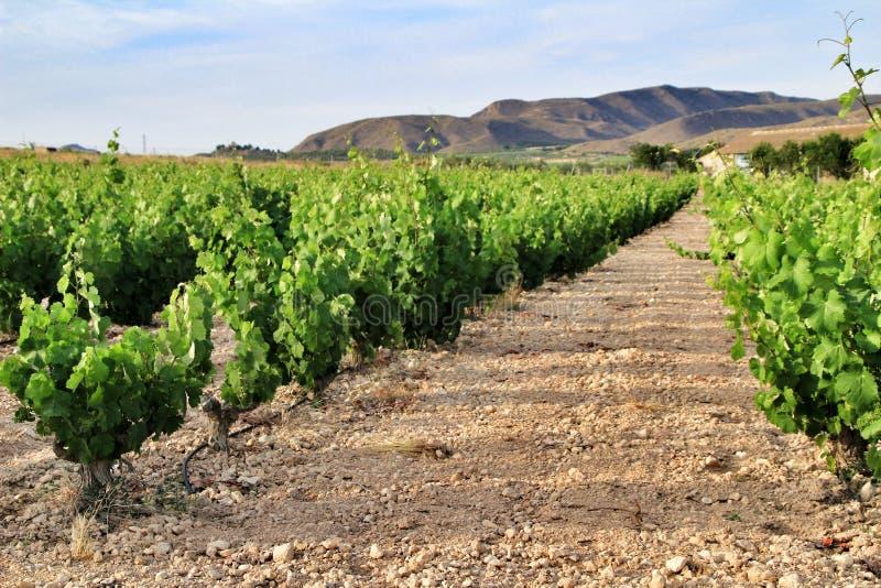 Landscape of vineyards in Jumilla, Murcia province. Landscape of beautiful green vineyards under blue sky in Jumilla, Murcia province, Spain vinery journey royalty free stock images