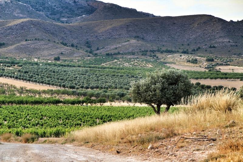 Landscape of vineyards in Jumilla, Murcia province. Landscape of beautiful green vineyards under blue sky in Jumilla, Murcia province, Spain vinery journey royalty free stock photography