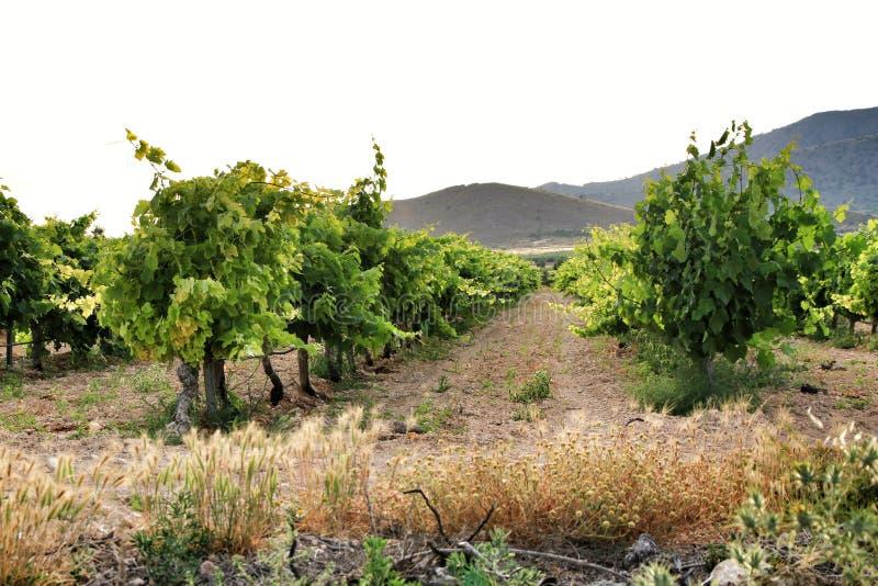 Landscape of vineyards in Jumilla, Murcia province. Landscape of beautiful green vineyards under blue sky in Jumilla, Murcia province, Spain vinery journey royalty free stock image