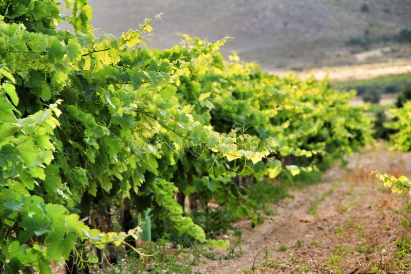 Landscape of vineyards in Jumilla, Murcia province. Landscape of beautiful green vineyards under blue sky in Jumilla, Murcia province, Spain vinery journey stock photos