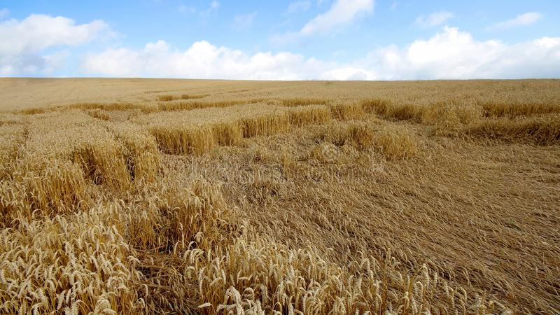 Landscape with warm colored yellow wheat crops on sunny day on rural farmland. Ears of golden wheat close up. Background of ripening ears of meadow wheat field stock image