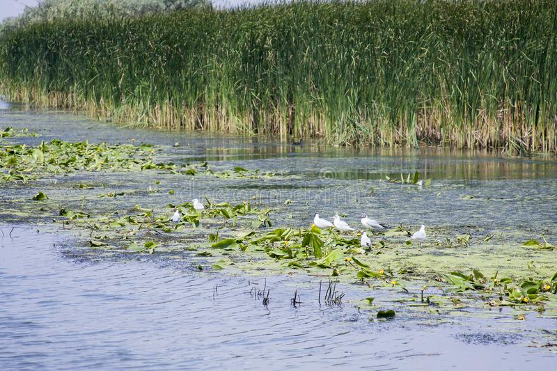 Landscape with waterline, birds, reeds and vegetation. In Danube Delta, Romania royalty free stock images