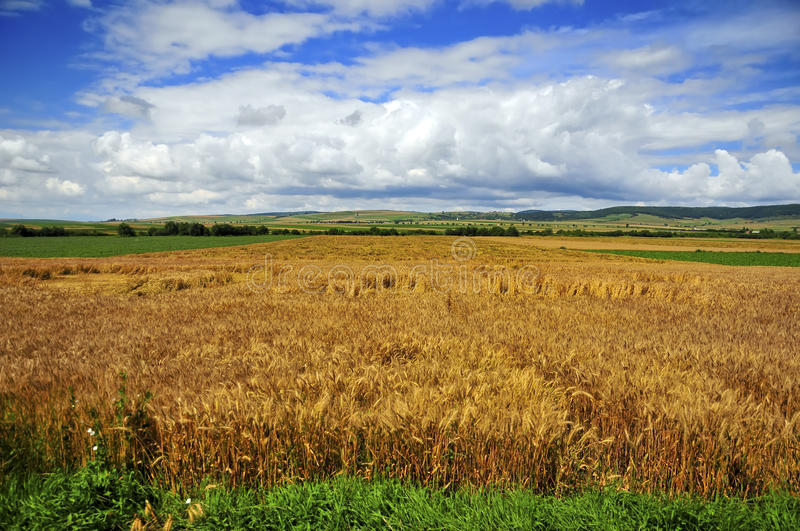 landscape with wheat stock photos