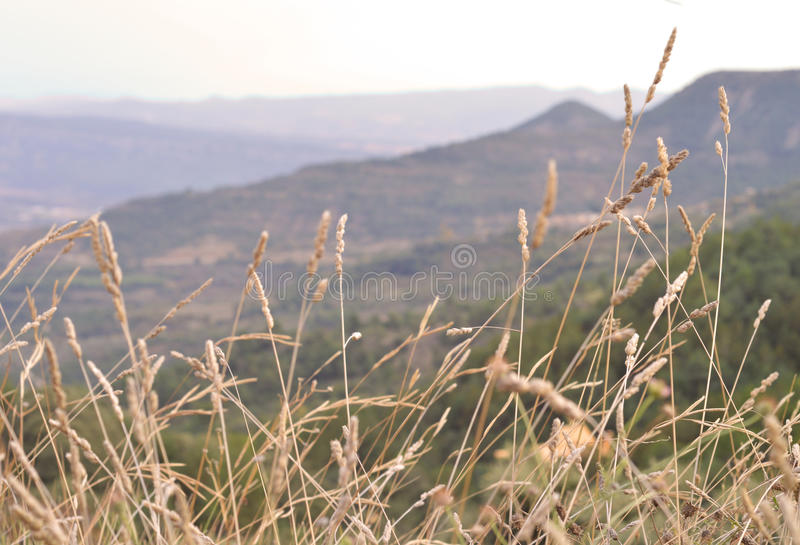 Landscape of wheats royalty free stock images