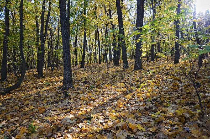 Landscape in wild deciduous forest in autumn royalty free stock photos
