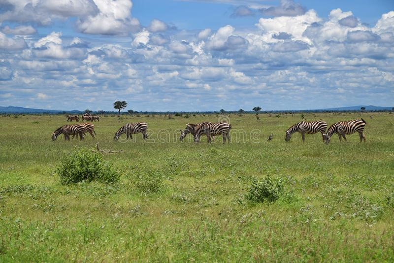 Landscape with wild Zebras on the savanna, Africa, Kenya. Zebras are several species of African equids, united by their distinctive black and white striped stock images