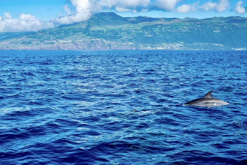 Landscape and wildlife of the Azores. A dolphin swimming past the iconic green landscape of Pico Island in the Azores royalty free stock photo