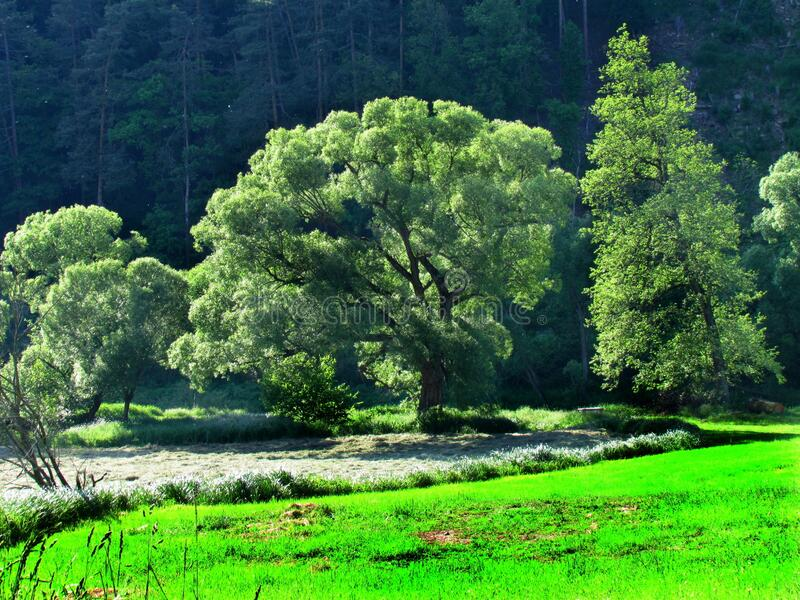 Landscape with willows and green meadow, green trees in afternoon sunshine. Czech republic stock photography