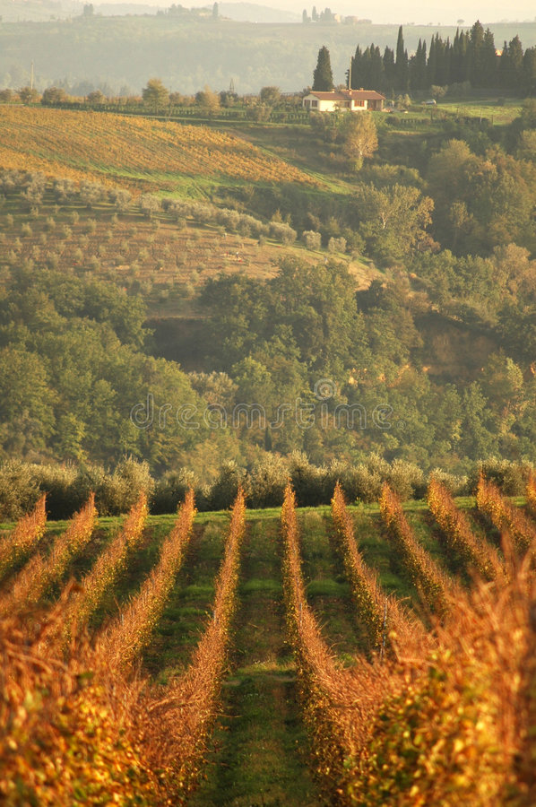 Landscape wineyard at sunset royalty free stock photography