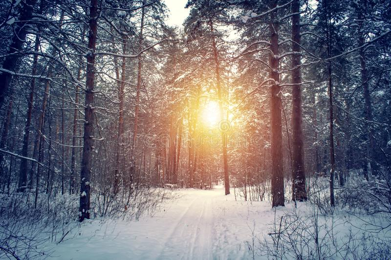 Landscape with winter forest and bright sunbeams. Sunrise, sunset in beautiful snowy forest stock image