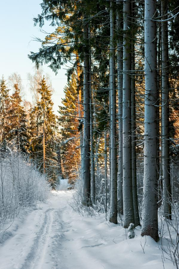 Landscape of winter forest vertical photo. From Russia stock photos