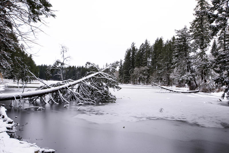 Landscape winter frozen Lakamas lake with fallen tree covered wi. Winter landscape of snow-covered and ice-covered Lacamas Lake with a downfallen tree and a stock image