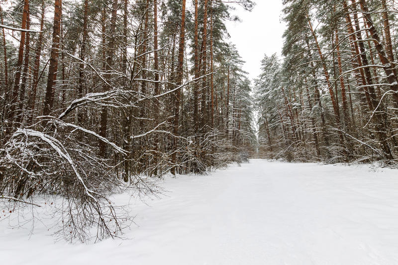 Landscape of winter pine forest covered with frost at mainly cloudly weather. stock images