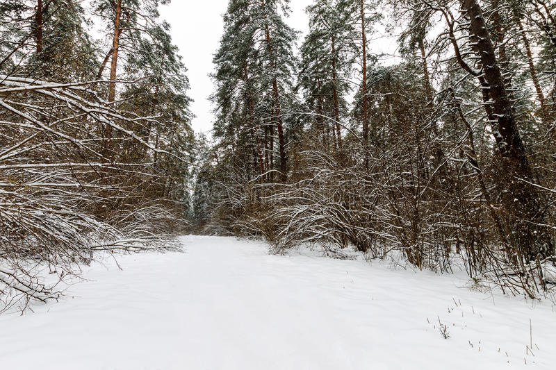 Landscape of winter pine forest covered with frost at mainly cloudly weather. royalty free stock images