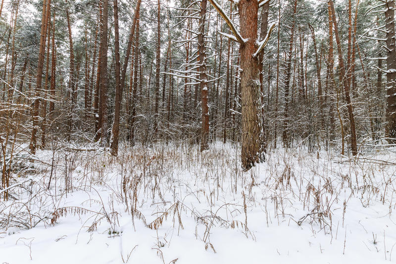 Landscape of winter pine forest covered with frost at mainly cloudly weather. stock photo