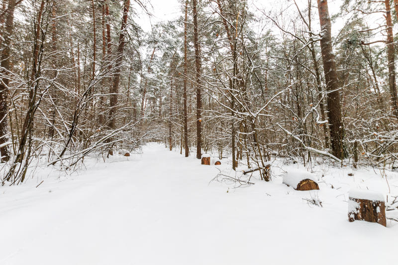 Landscape of winter pine forest covered with frost at mainly cloudly weather. royalty free stock photo