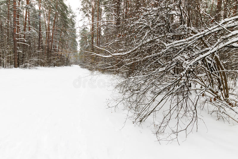 Landscape of winter pine forest covered with frost at mainly cloudly weather. stock image