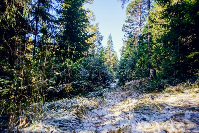 Landscape of winter pine forest covered with frost at sunny weather. First snow at autumn season. Landscape of winter pine forest, first snow in the woods a stock images