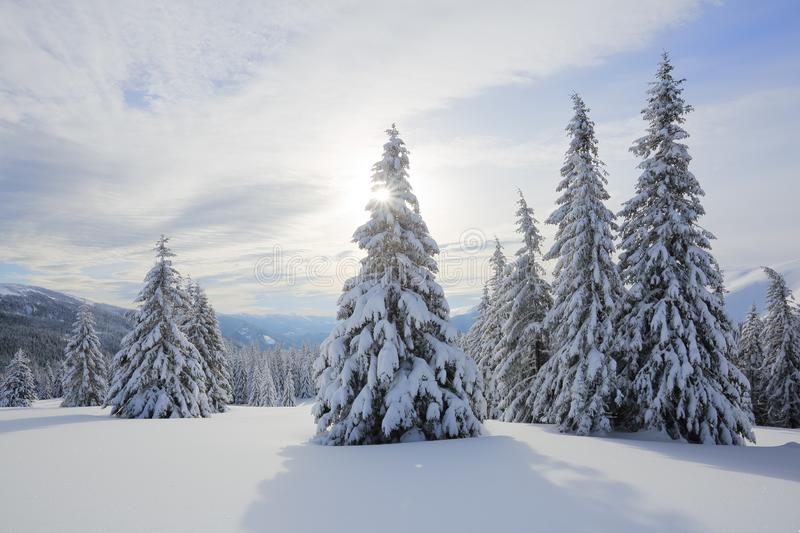 Landscape winter woodland in cold sunny day. Spruce trees covered with white snow. Wallpaper snowy background. royalty free stock images