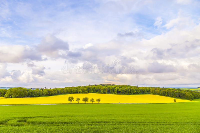 Landscape with yellow canola field. Under blue sky royalty free stock photography