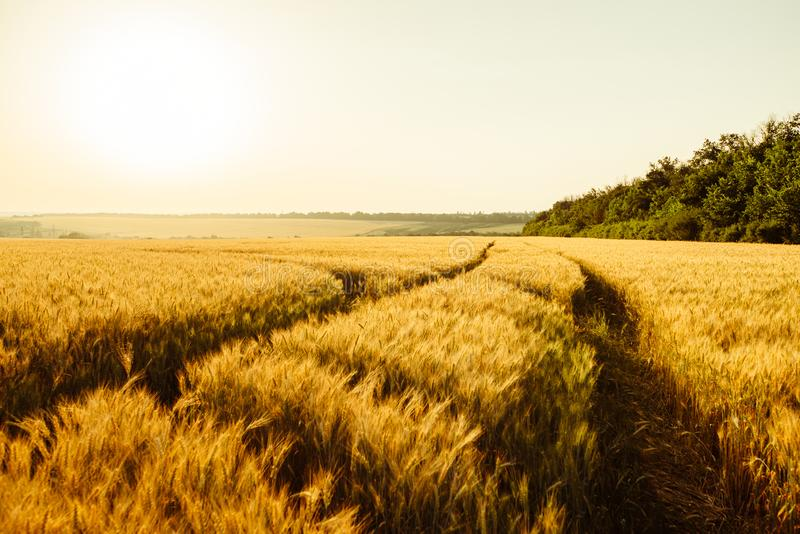Landscape yellow field. On farm fields in the evening before sunset stock image