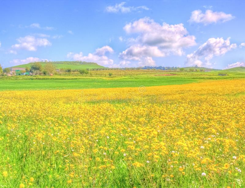 Landscape yellow flowers field under blue sky in spring. With rural house in the background royalty free stock images