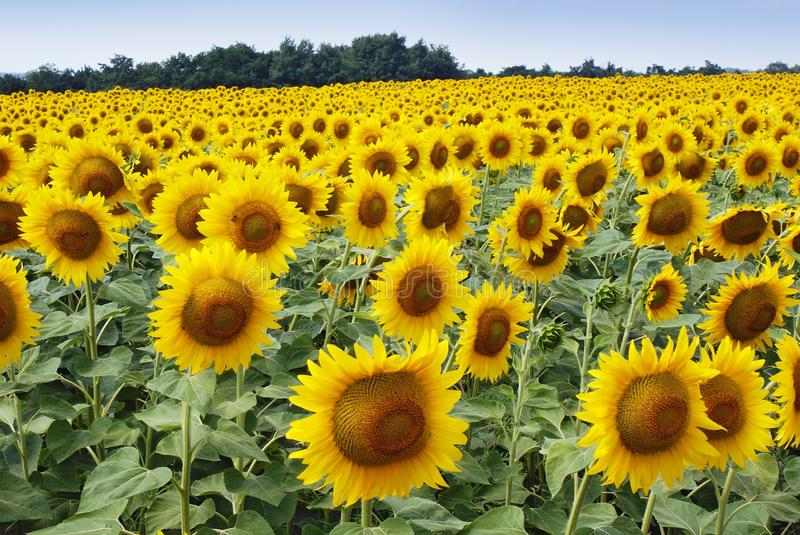 Landscape on yellow sunflowers field stock image