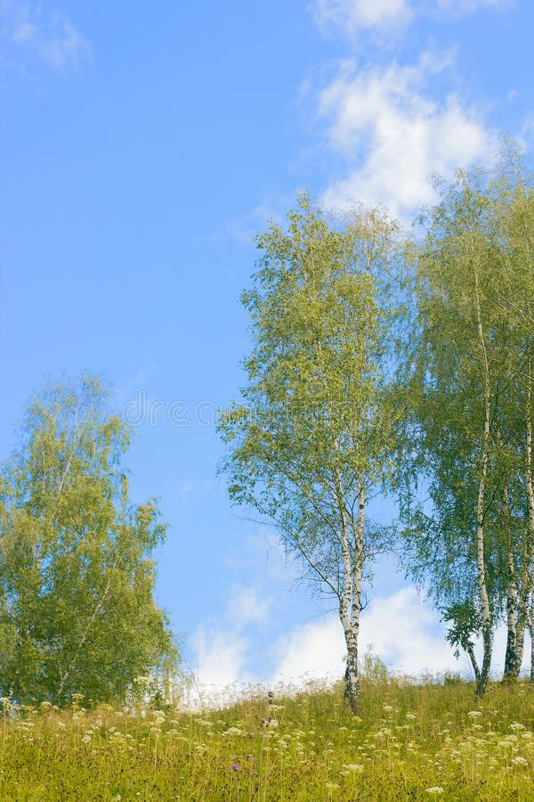 Landscape with young birch trees. Against blue sky royalty free stock photo