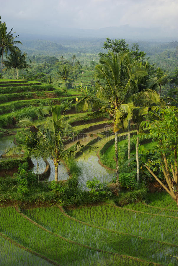 Download Landscape Of Young Watered Ricefields Royalty Free Stock Photo - Image: 12960405