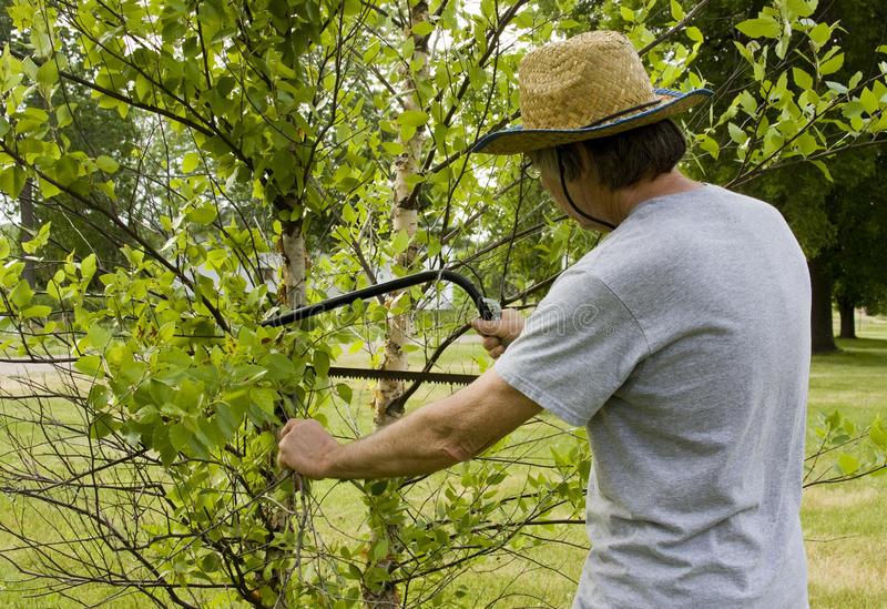 Landscaper cuttung branches. Landscaper is cutting branches off of a tree using a bow saw royalty free stock photo