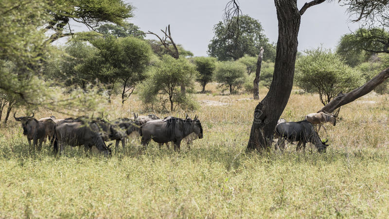 Landscapes with The Wildebeests stock photo